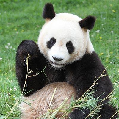 Panda 01 400x400